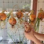 How to cure onions for long-term storage
